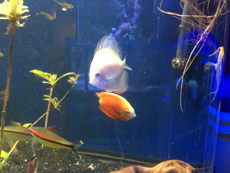 Red pigeon snow white discus