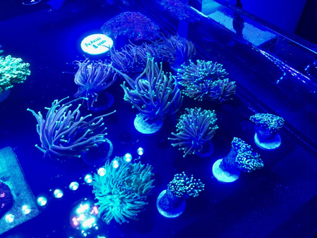 Torch corals Aquashella