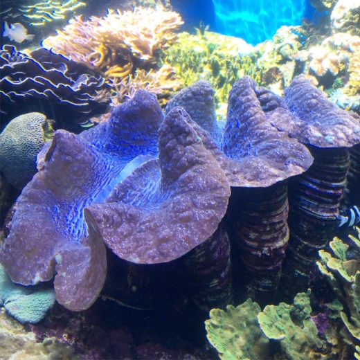 Gigas clam once lived in Waikiki Aquarium