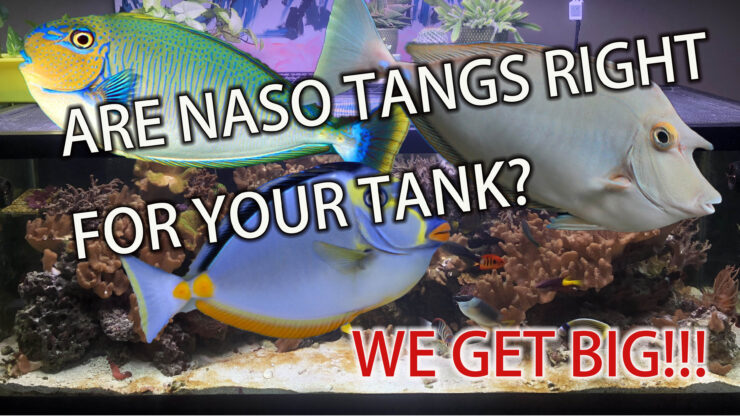 Are naso tangs right for your tank?