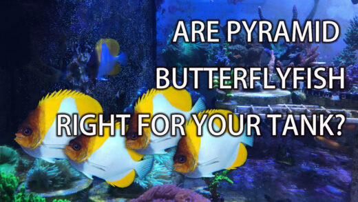Are pyramid butterfly fish right for your tank