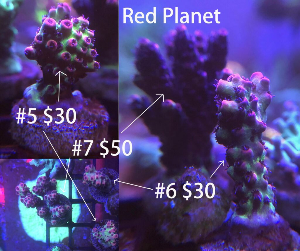 red planet acropora coral
