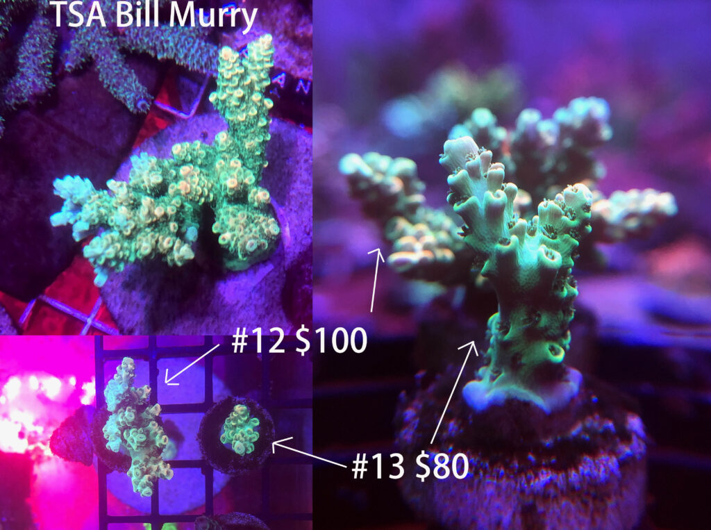 tsa bill murry acropora coral